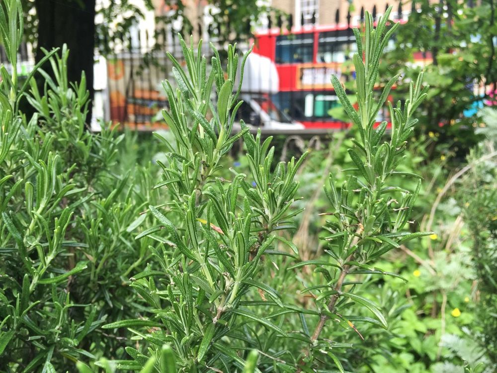 Lavender Busy Street Red Bus Oasis In The City Green Lush Foliage