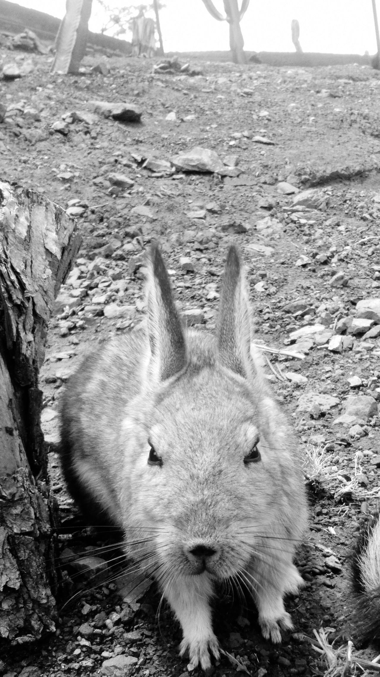 Vizcacha Animals Ayacucho Perú Fauna Nature Photography Andes Zone Black And White Native Animals Animal Love Sierra Peru Traveling ZooLife Life Is Beautiful Travel Photography SurpriseMe