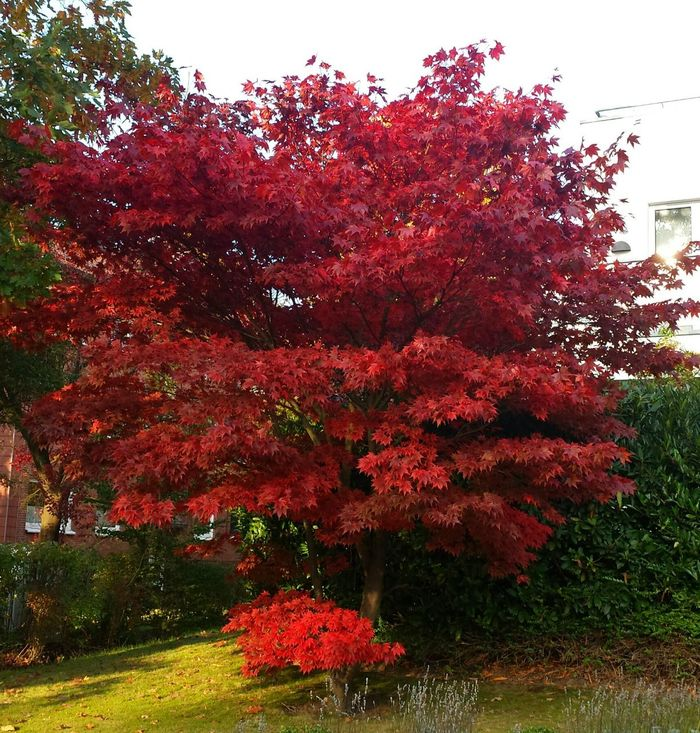🍁🍁🍁🍁 Tree Red Red Leaves Red Maple Tree Maple Leaf Leaf Red Maple Leafs Naturelovers Leafs Photography Autumn Colors Beautiful Tree Autumn Nature_collection Tree Awesome Tree Awesome_nature_shots TreePorn Eye4photography  Epic Shot Photography Naturephotography Autumn Leaves Autumn Collection Awesome_shots Autumn 2016 Nature Photography