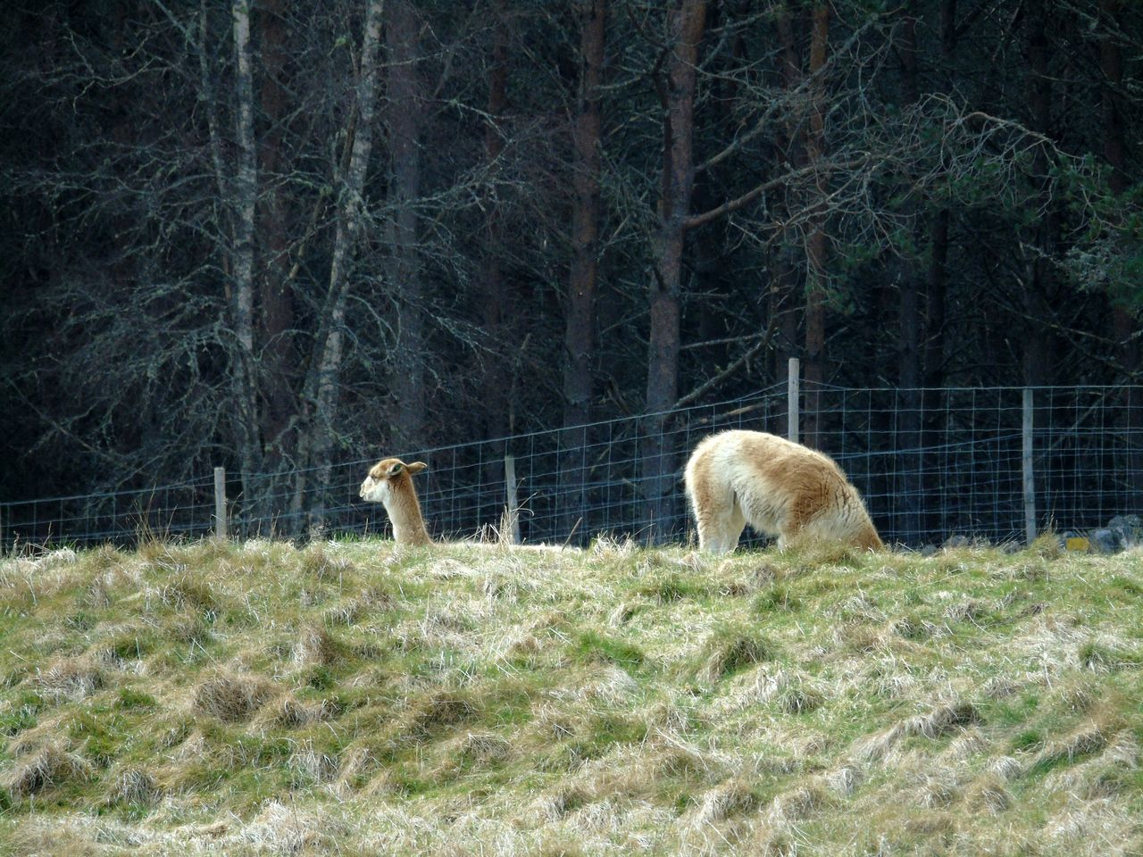 Vicuna using portals to look behind it!!! 😨😂😂😂 Uk Scotland Eye Em Scotland Kincraig Wildlife Park Wildlife & Nature Mammal Animal Themes Nature Outdoors One Animal No People Animal Wildlife Vicuña Beauty In Nature Outdoor Photography Beautiful Animals  Animals In The Wild Wildlife Photography Animal_collection Backgrounds Funny Funny Moments Funny Anımals Wildlife Photos