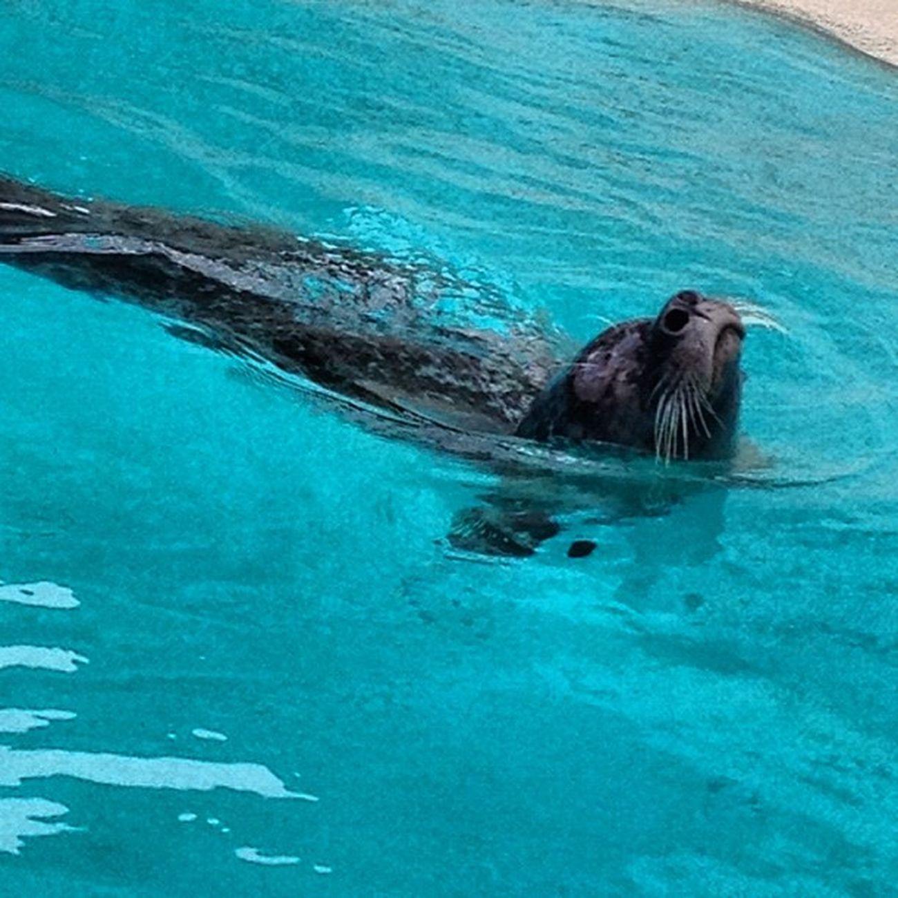 #tierpark #seelöwe #zoo #sealion Zoo Sealion  Tierpark Seelöwe