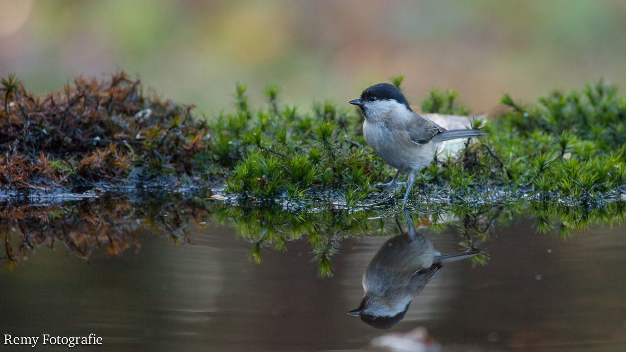 animals in the wild, bird, animal themes, animal wildlife, one animal, water, nature, reflection, focus on foreground, day, no people, perching, lake, beauty in nature, outdoors, close-up