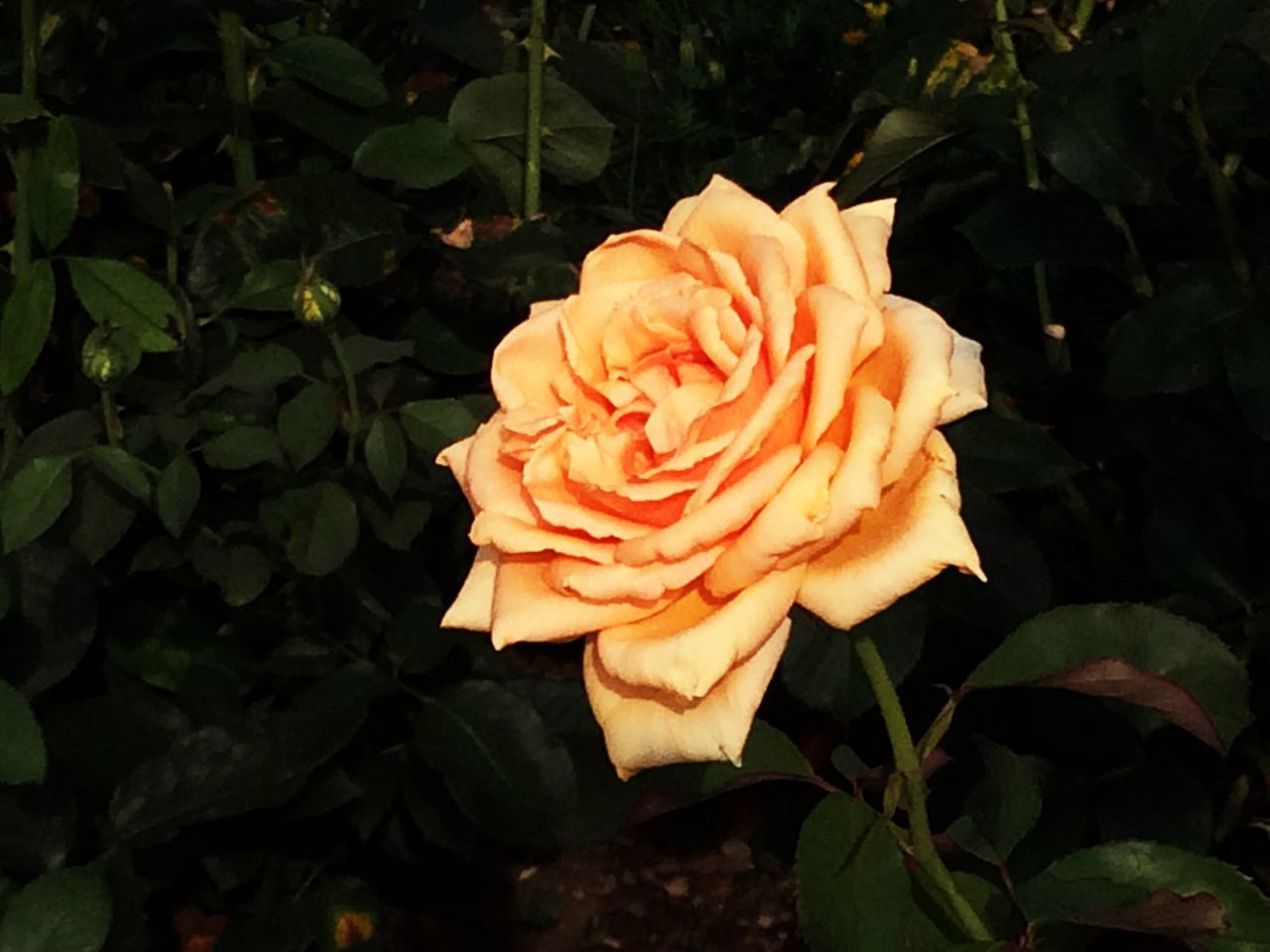 Flower Collection Roses Yellow Rose
