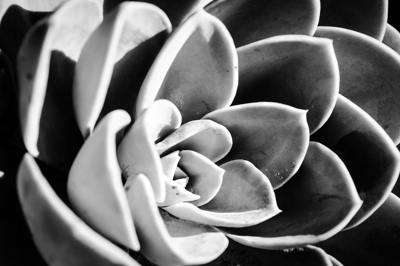 Monochrome Photography Freshness Close-up Growth Fragility Beauty In Nature Nature Full Frame Extreme Close-up Plant Succulent Plant Macro Curled Up In Bloom Blossom Growing