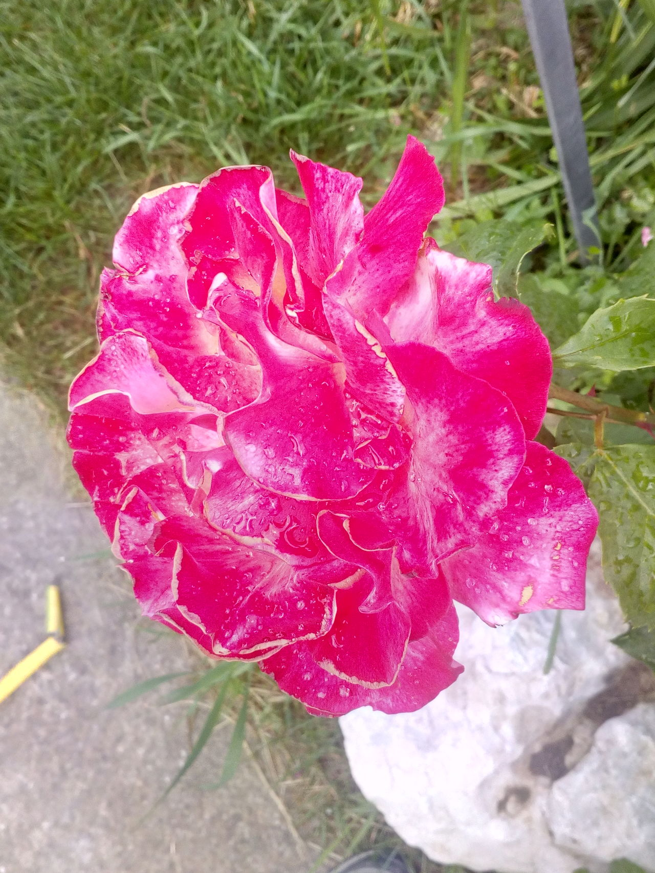 Nature Flower Beauty In Nature Outdoors Plant No People Flower Head Freshness Petal Rose - Flower