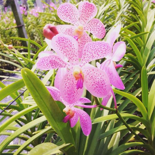 Nature Flower Ponk Orchid Epiphyte Blooming