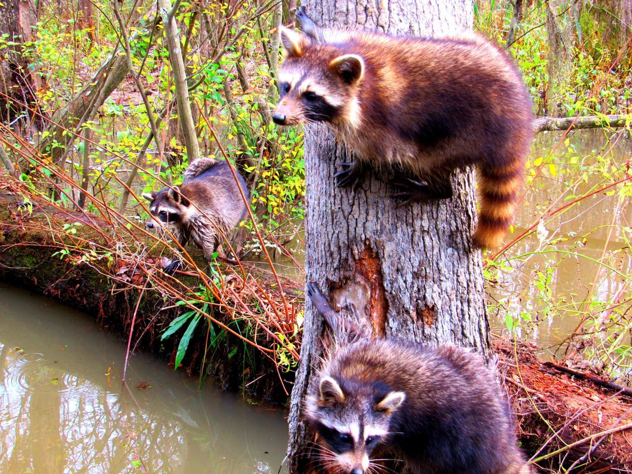 animal wildlife, animals in the wild, mammal, animal themes, raccoon, nature, tree, outdoors, no people, day, red panda, grass, close-up