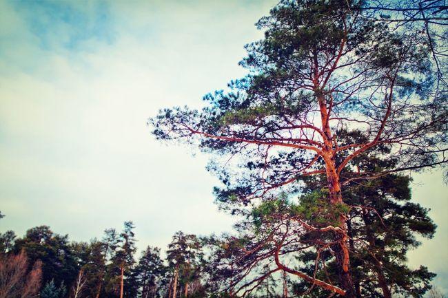 Nature Pine Sky Tatarstan