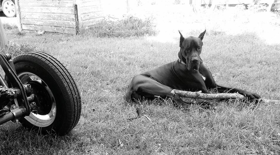 Gentle Giant Available Light Photography Enjoying Life Dogs Great Dane And His Toothpick