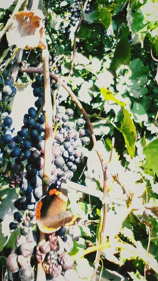 Leaf Close-up Plant Nature Vines Eyeem Market Wolfzuachis Ionitaveronica @wolfzuachis Showcase: October Showcase: 2016 Grapes Fruits Butterfly - Insect Butterfly Vineyard Insect Slowfood Leaves Leafs Green Edited By @wolfzuachis Romania Colorful Autumn