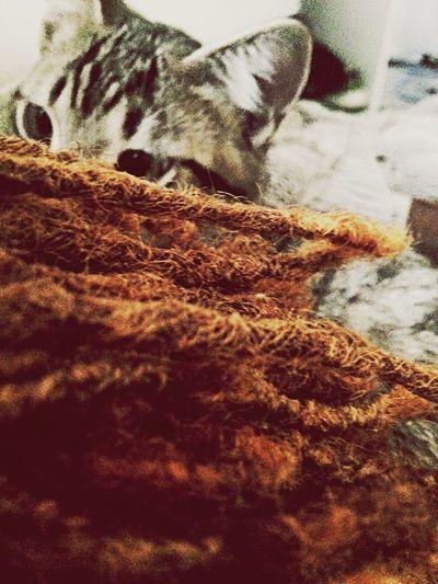 Cat Dreads Ilovemycat