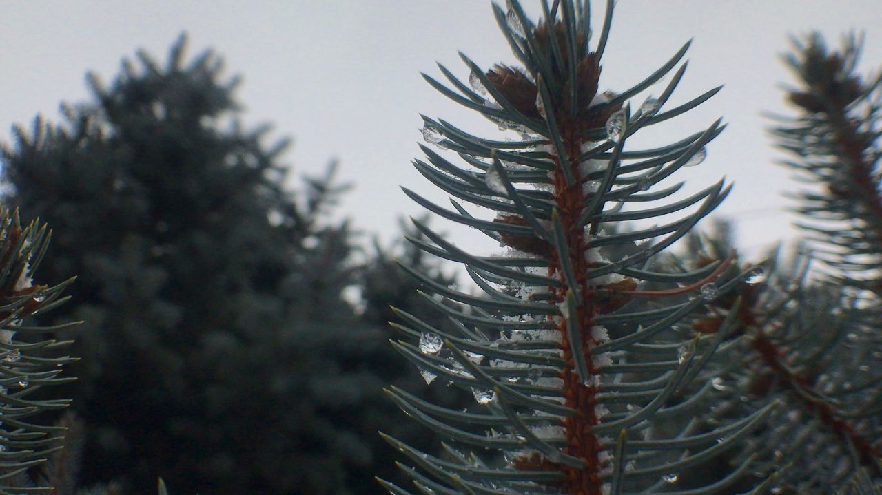 Close-up Focus On Foreground Nature Growth No People Plant Pine Cone Tree Outdoors Day Needle - Plant Part Beauty In Nature Ice And Snow Taking Photos