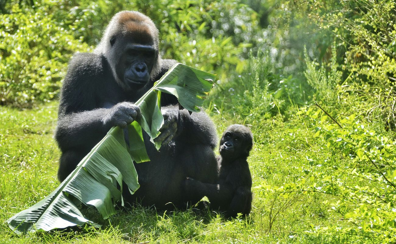 Beautiful stock photos of gorillas, Animal Family, Animal Themes, Animal Wildlife, Animals In The Wild