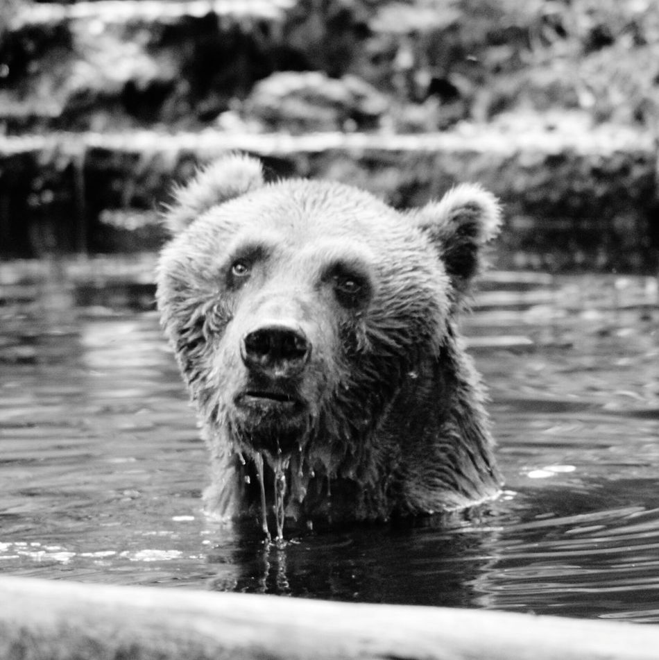Bears In The Water Blackandwhite Photography