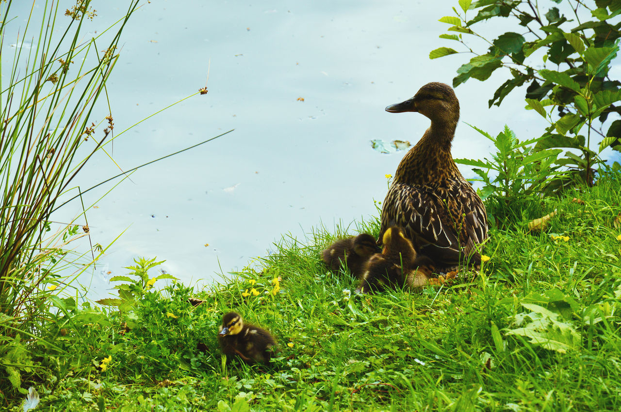 Animal Family Animal Themes Beauty In Nature Day Duck Grass Grassy Green Growth Nature Outdoors Plant Water Wildlife Young Animal Germany Rosenau