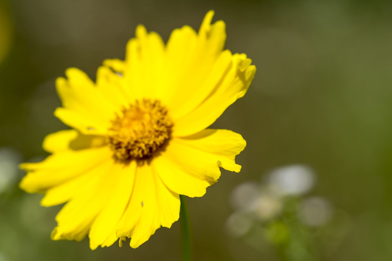 yellow, flower, fragility, nature, petal, growth, beauty in nature, flower head, plant, freshness, no people, blooming, outdoors, close-up, day