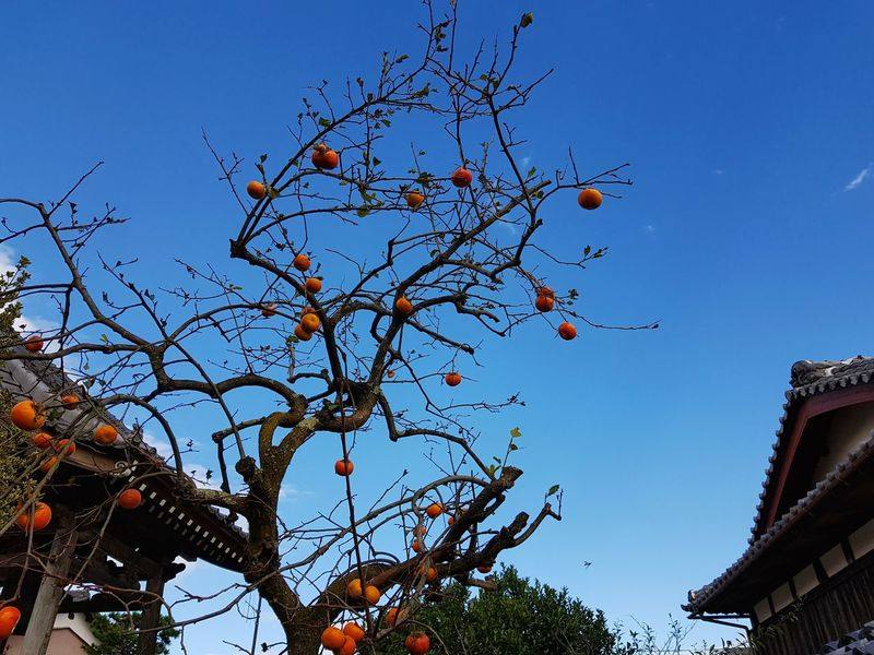 Japan Photos Treepark Tree No People Low Angle View Day Outdoors Architecture Built Structure Building Exterior Branch Fall Beauty Fall Sky Urban Autumn Travel Beauty In Nature Nature Freshness Persimmon Scenics Urban Exploration Urban Landscape Samsung Galaxy Note 8 Rural Scene