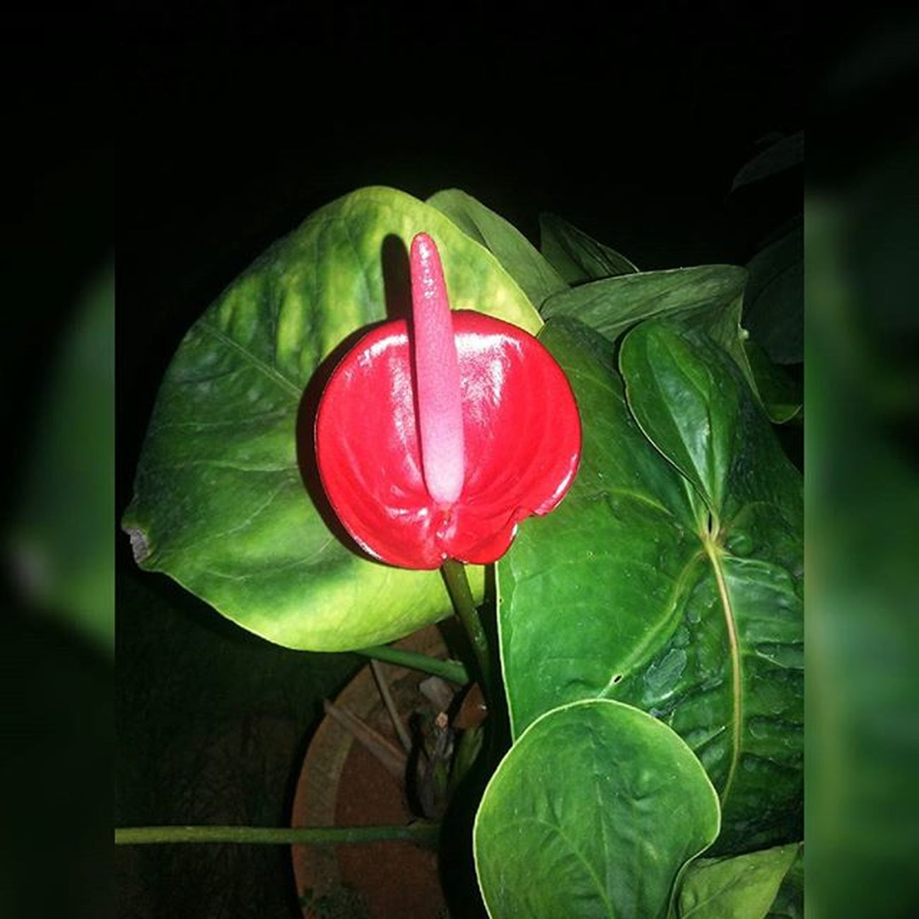 🌸🍀Arthuriumlily Beautiful Exoticflowers Flowers Flowerslovers Petals Blossom Flowerstagram Instablooms Mothernature Nature Green Floweroftheday Red Anthurium Capture_red Instanature Instaupload Instaflowers