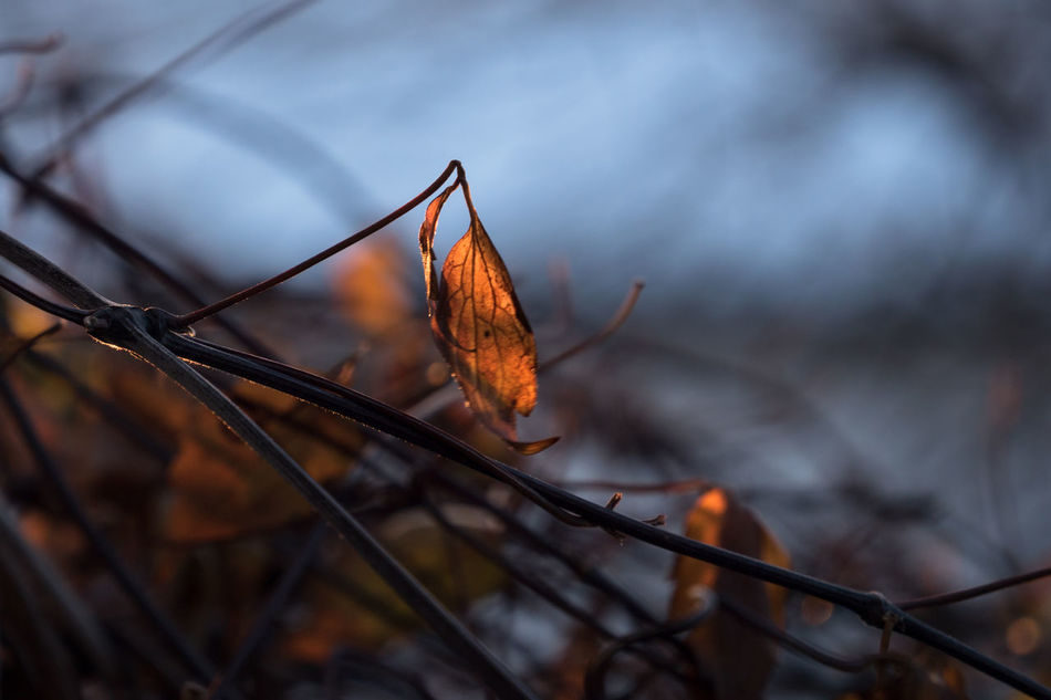 Beauty In Nature Change Close-up Day Focus On Foreground Fragility Growth Leaf Leaf Vein Leaves Natural Pattern Nature No People Orange Color Outdoors Plant Remains Season  Sentimental Mood Tranquility Twig Winter Wintertime