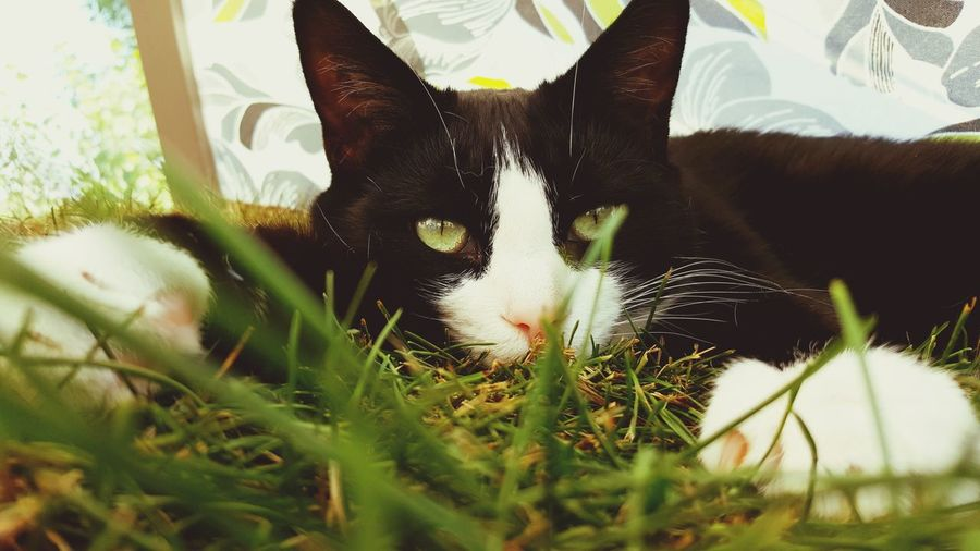 Tiger-love Tiger In The Grass Domestic Animals Pets One Animal Cat Cat Lovers Cats Of EyeEm Tiger Eyes  Grasshopper Nature Prowling