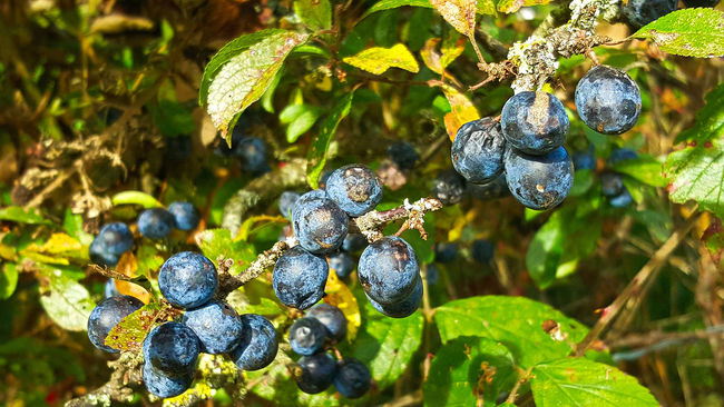 Autumn, Normandy, France Autumn Colors Beauty In Nature Berry Botany Branch Close-up Day Focus On Foreground Fragility Freshness Fruit Green Color Growth Leaf Nature No People Outdoors Plant Life Sloes Tranquility