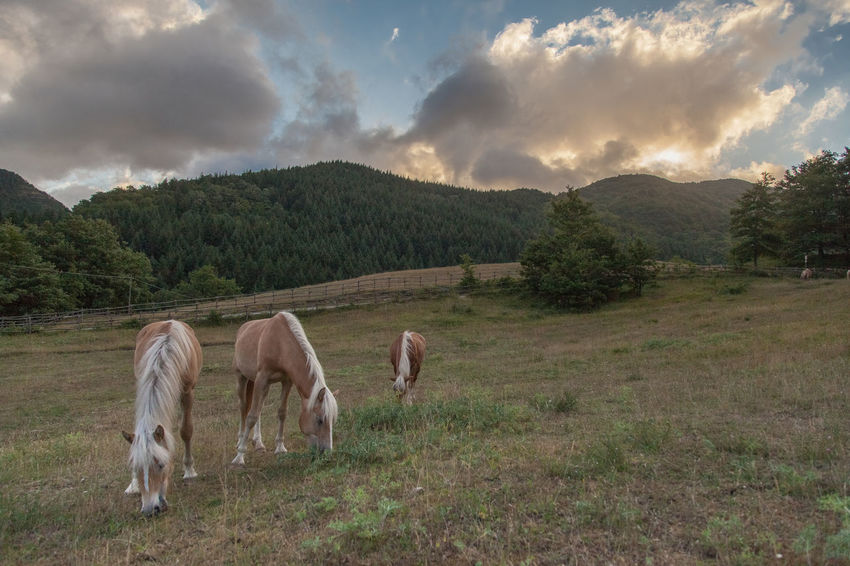 #haflinger #horse #HorsePower #Nature  #sky #sunset #sun #clouds #skylovers #sky #nature #beautifulinnature #naturalbeauty #photography #landscape #tranquillity #tuscany First Eyeem Photo