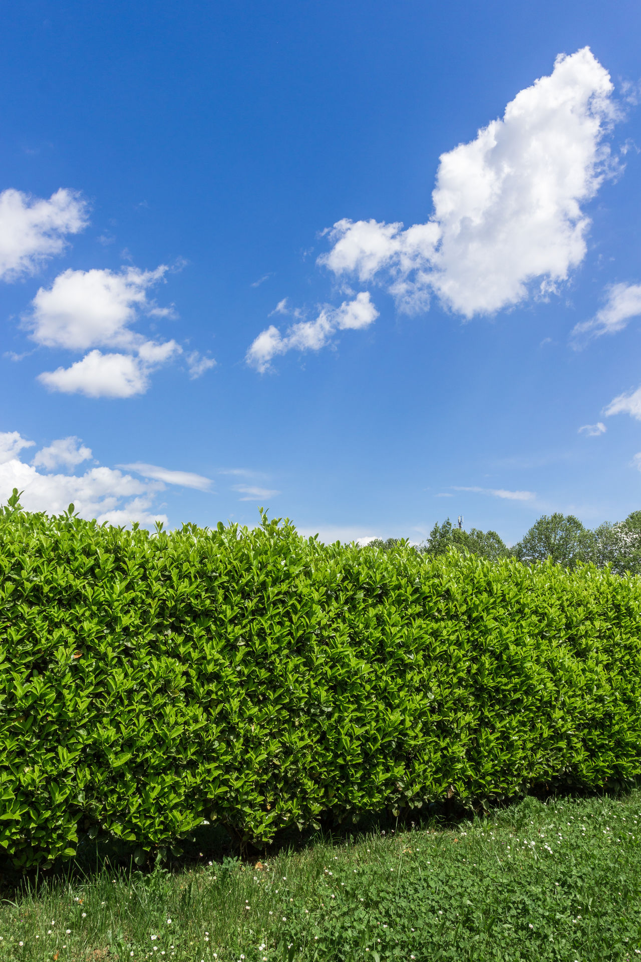Green bush on bright blue sunny sky background Background Blue Border Bush Clouds Cloudscape Evergreen Fence Field Garden Gardening Grass Green Growth Hedge Hedgerow Hedges Isolated Landscape Leaf Meadow Natural Nature Park Plant