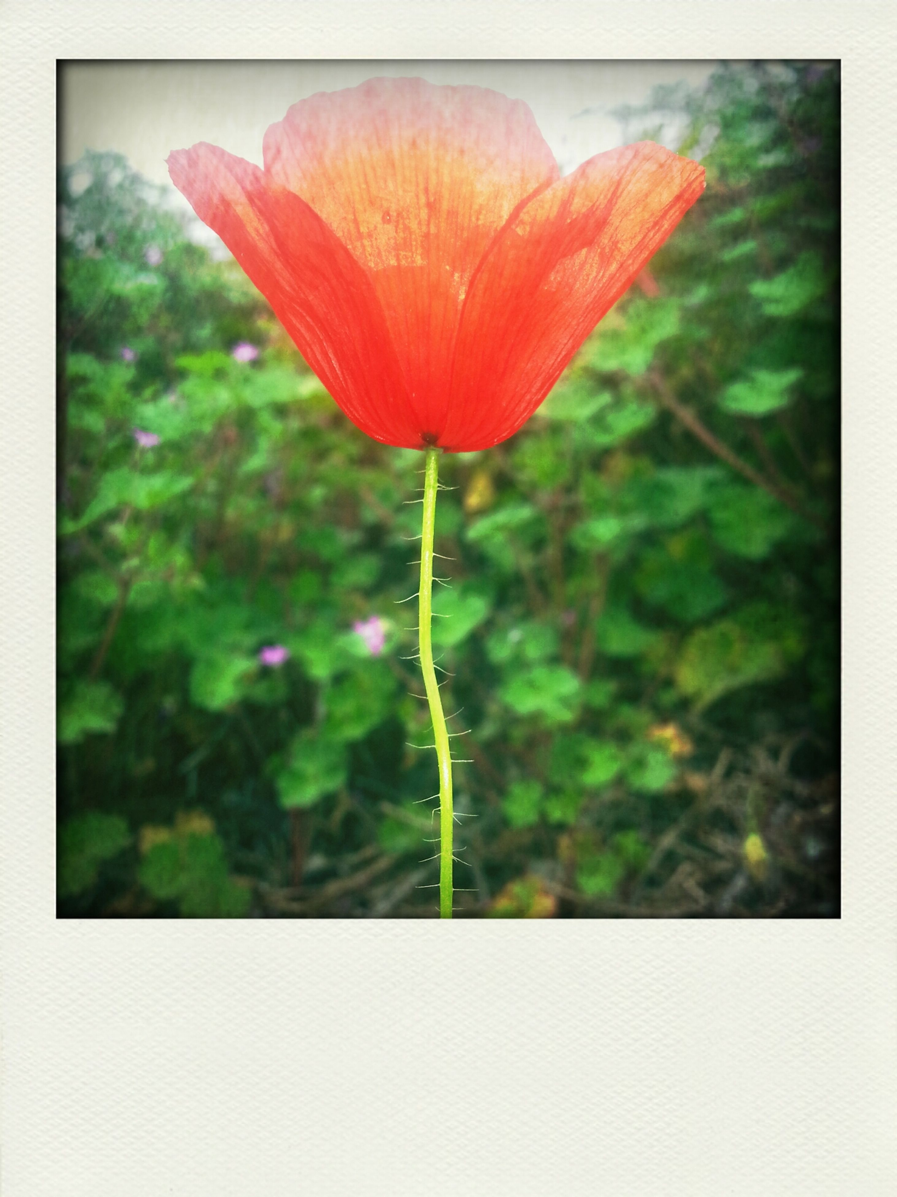 transfer print, flower, auto post production filter, freshness, fragility, growth, petal, beauty in nature, flower head, close-up, plant, nature, stem, focus on foreground, red, blooming, single flower, bud, in bloom, no people