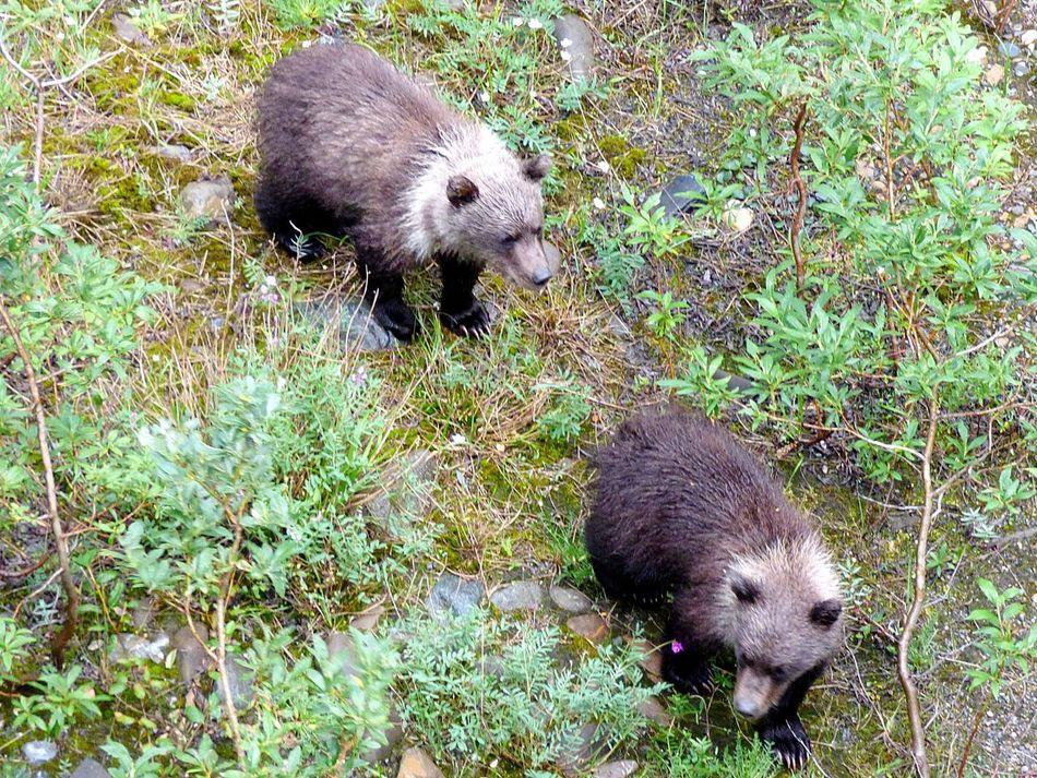 Two Is Better Than One Alaska Denali National Park Grizzly Bear Bear Cubs Fresh On Eyeem