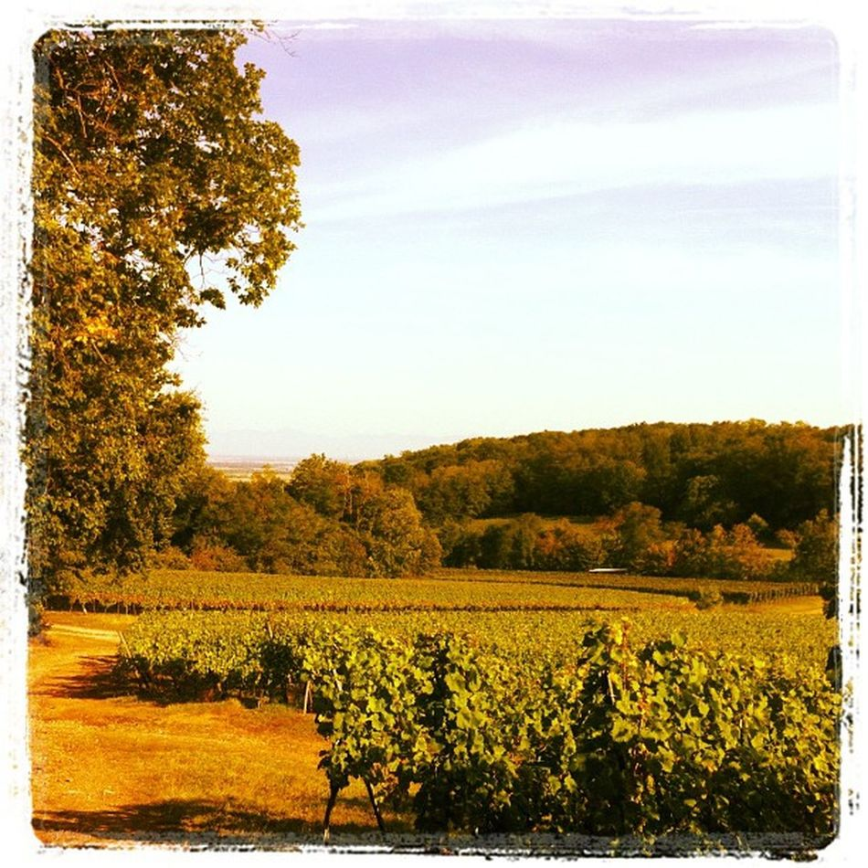 Les vignes 2 Alsace