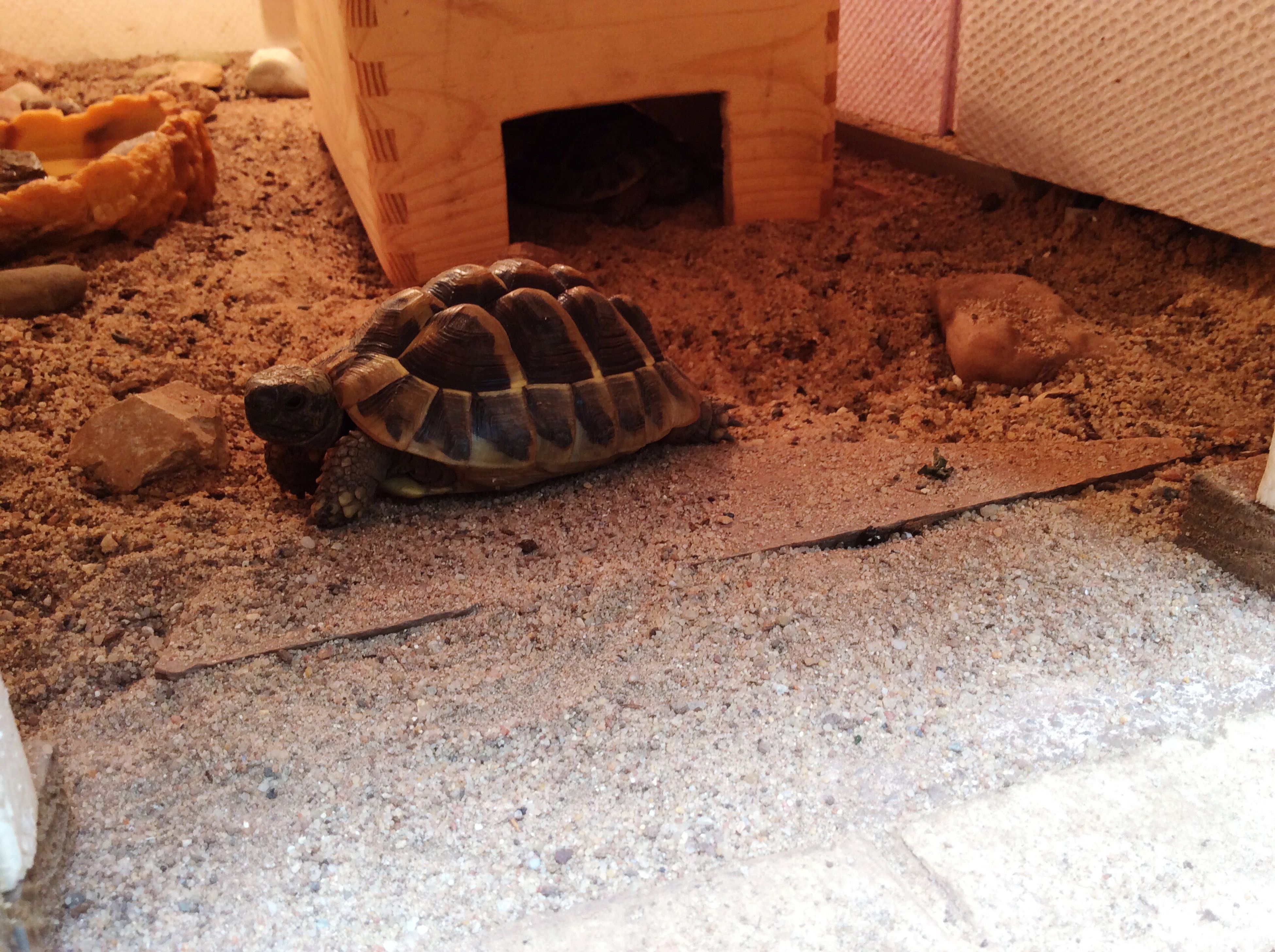 reptile, animal themes, animals in the wild, no people, tortoise shell, sand, close-up, tortoise, outdoors, day