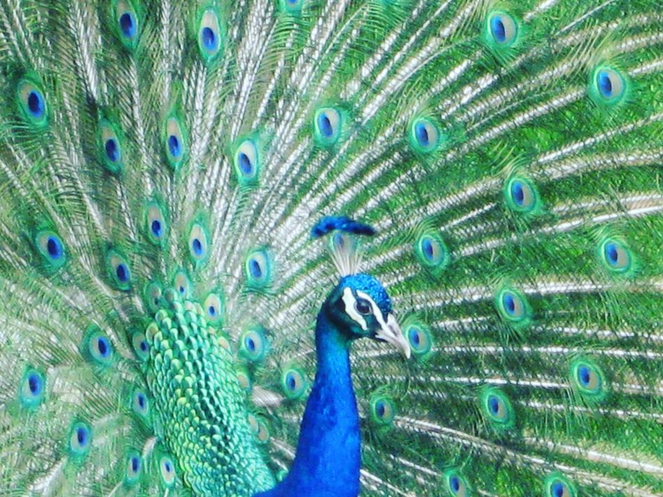 Peacock Peacock Feathers Feathers Birds_collection Emerald Green Blue And Green Proud Bold And Beautiful Multicolor Side Profile Pastel Power Elegant Elegance In Nature