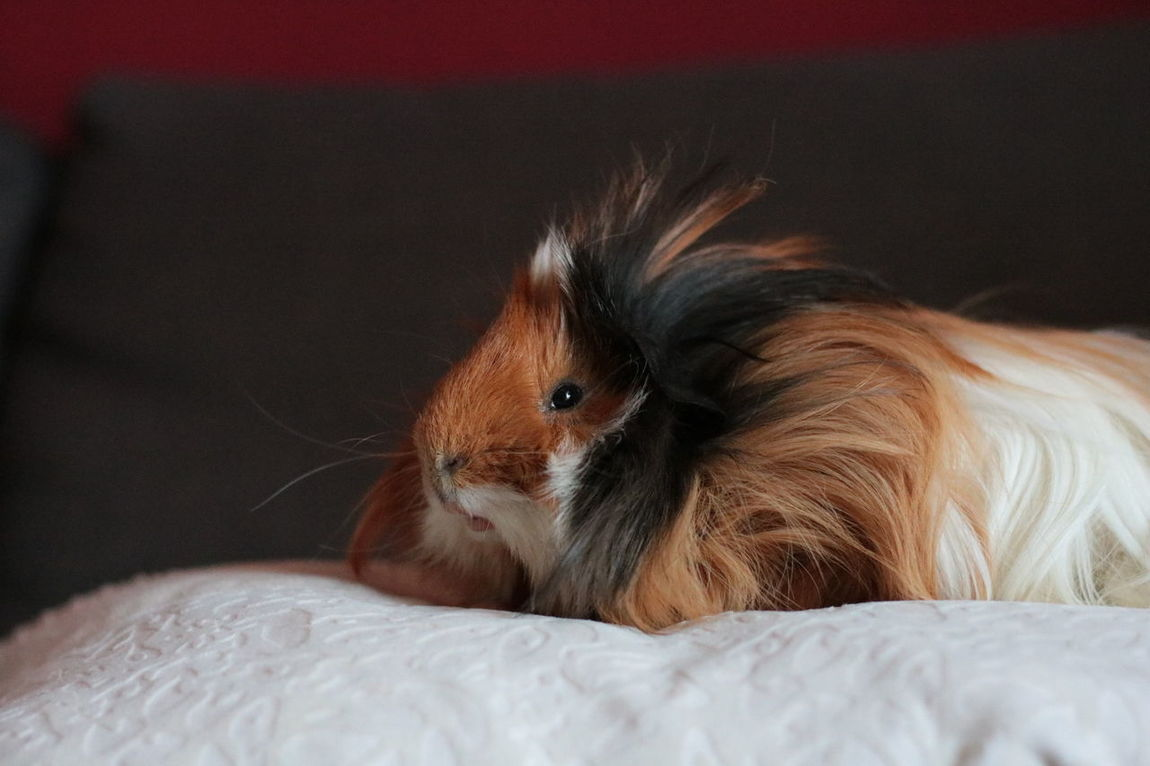 One Animal Animal Themes Indoors  Pets Close-up Domestic Animals Animal Head  Mammal Brown Animal Hair No People Zoology Guinea Pig