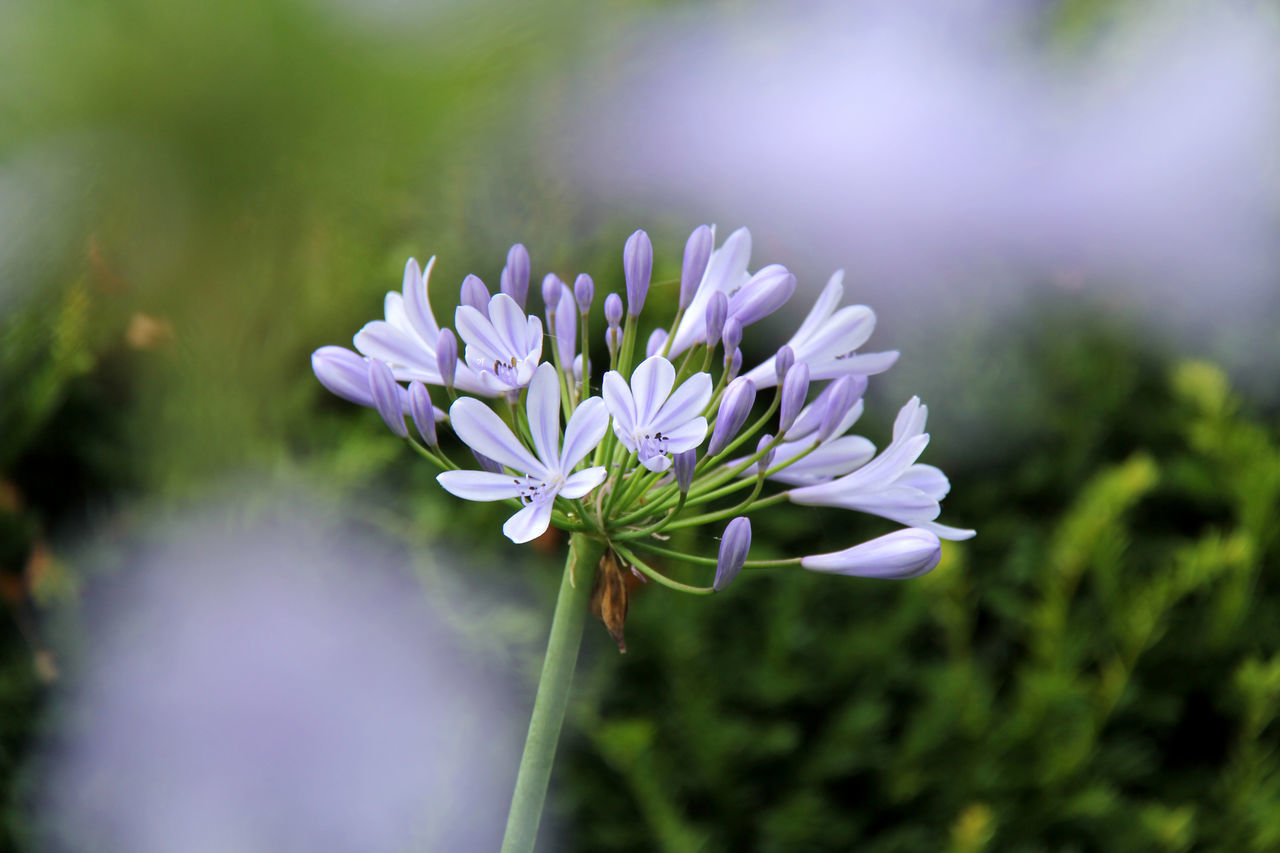 Agapanthus Agapanthus Africanus Beauty In Nature Blossom Close-up Day Flower Flower Head Focus On Foreground Fragility Freshness Growth Liebesblume Nature No People Outdoors Plant Schmucklilie Schmuckliliengewächs