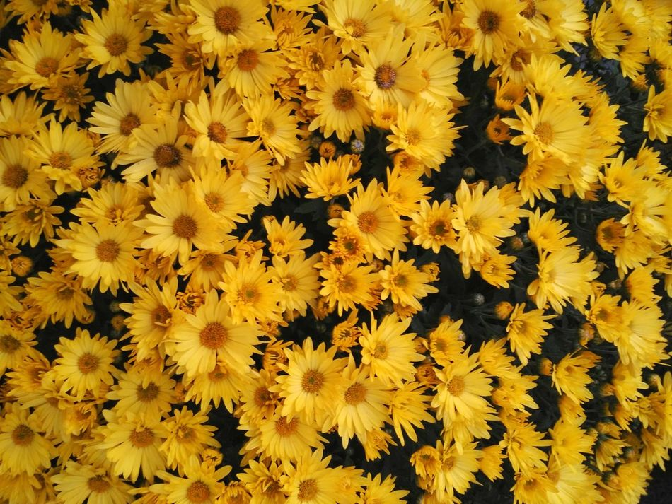 Flower Yellow Beauty In Nature Fragility Nature Backgrounds Freshness Flower Head Growth Close-up Chrysanthemum Outdoors Potted Plant Potted Blooming Freshness Petal Flower Market Plants Purity Yellow Flower