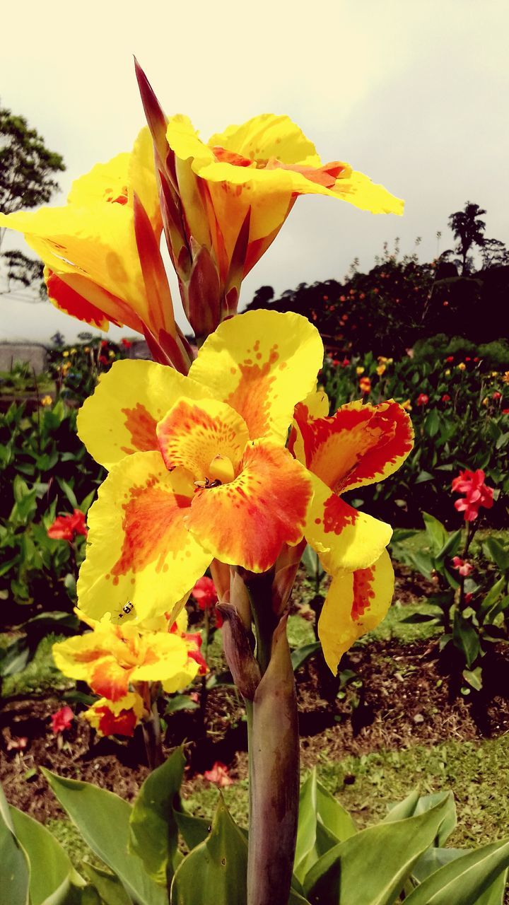 flower, growth, petal, yellow, fragility, freshness, nature, beauty in nature, plant, flower head, outdoors, day, no people, close-up, blooming, day lily, sky