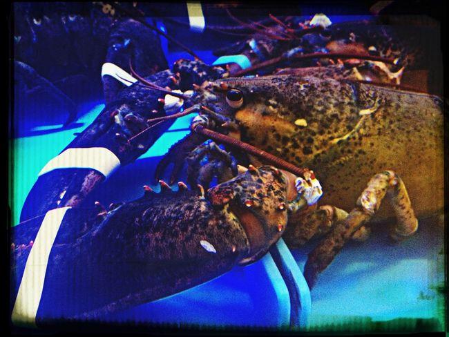 Lobster Sea Creature Fancy Dinner