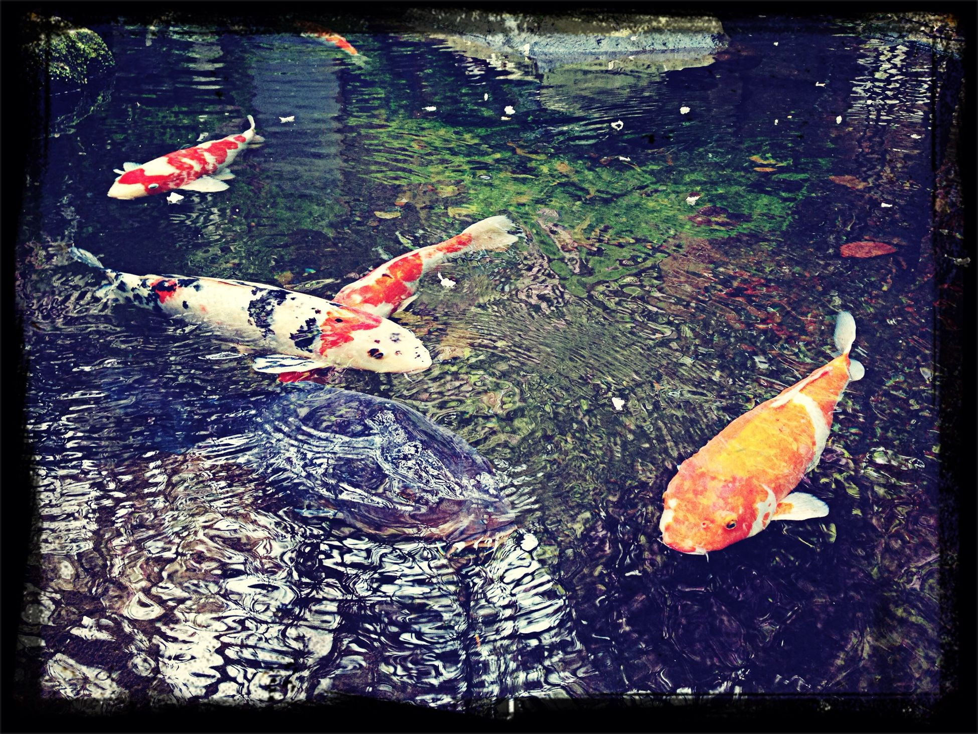 鯉-carp- Carp