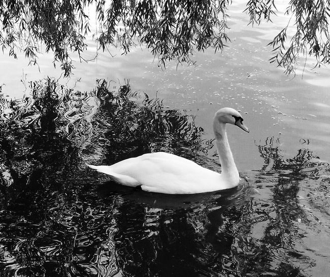 Swan Animal Themes Reflection Black And White Black & White Eye4black&white  Blackandwhite Blackandwhite Photography Bw_collection Iphonesia IPhoneography Iphonephotography Iphoneonly Nature_collection Nature Nature Photography TheWeekOnEyeEM EyeEm Gallery