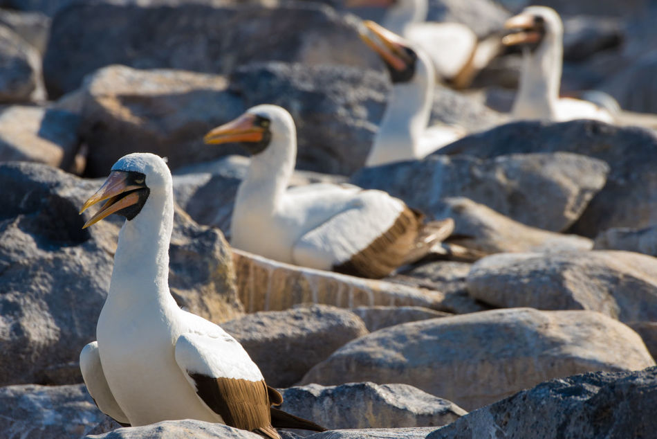 Beautiful stock photos of wildlife, Day, Four Animals, Galapagos Islands, Masked Booby