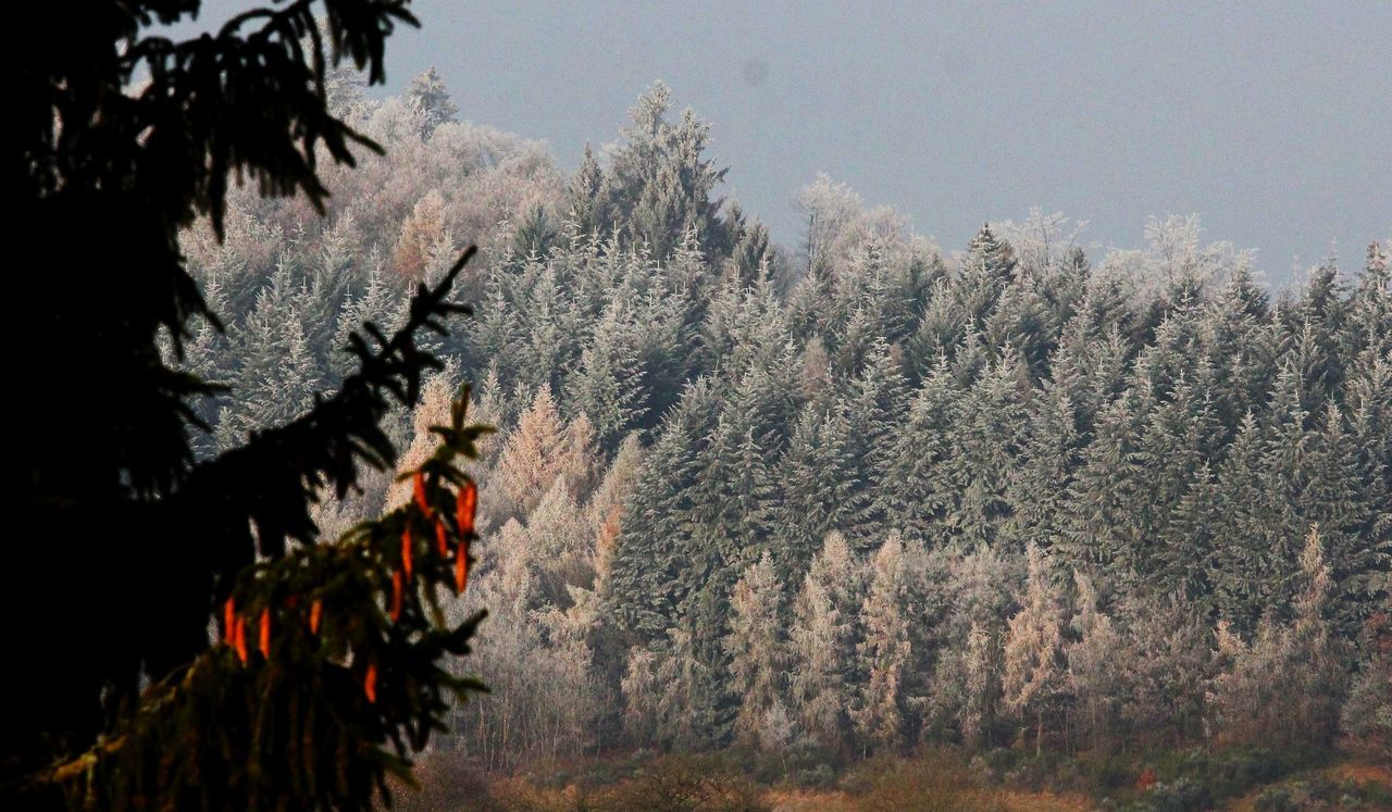 Beauty In Nature Cold Dezember Fichte Germany Growth Hessen Hinterland Nature No People Outdoors Reif Snow Tree Wald Winter Wood