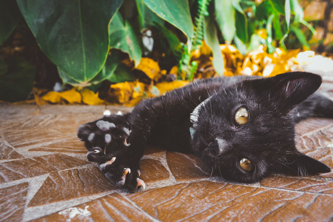 pets, animal themes, domestic animals, one animal, mammal, domestic cat, black color, no people, leaf, looking at camera, feline, close-up, portrait, lying down, indoors, day, full length, nature