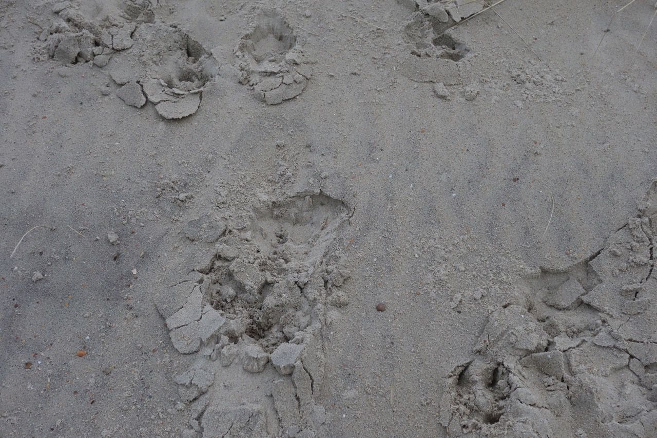 Traces in the sand. Animal Track Backgrounds Beach Black & White Black And White Blackandwhite Close-up Day Fine Art Fine Art Photography Fineart Full Frame High Angle View Monochrome Nature Nature No People Outdoors Paw Print Sand Textured  Trace Traces Traces In The Sand Track - Imprint