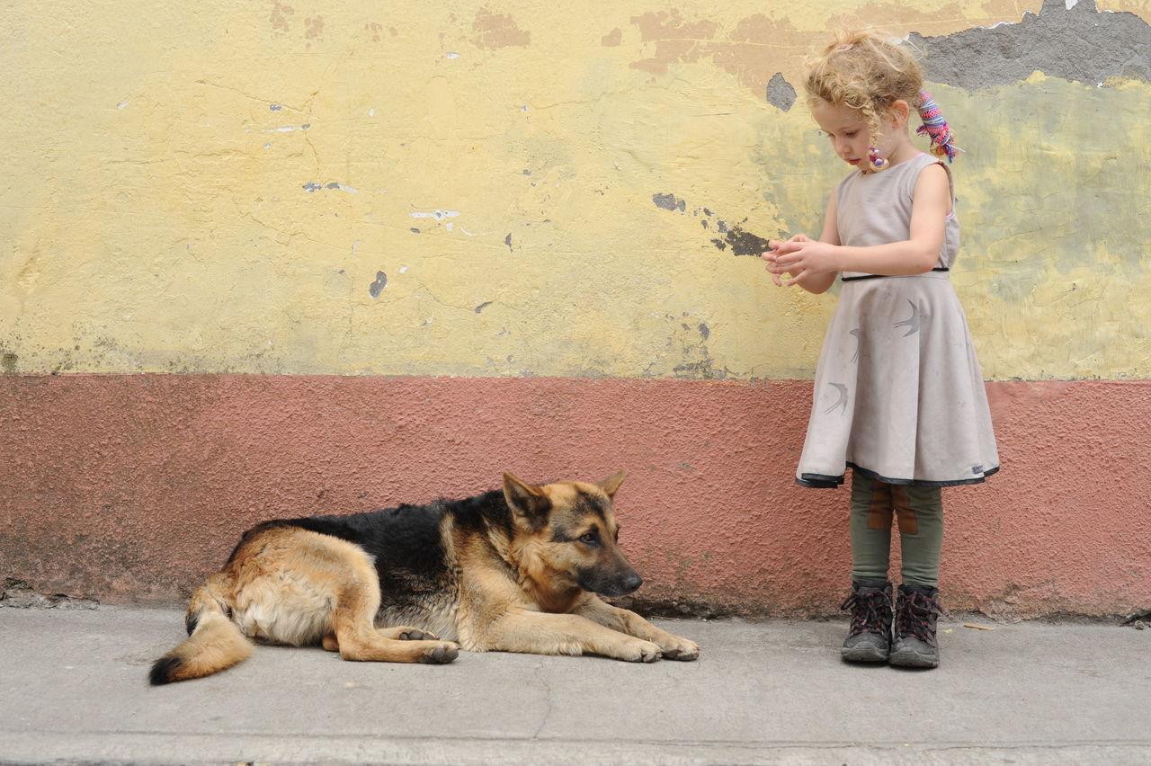 Beautiful stock photos of german shepherd,  2-3 Years,  Animal,  Animal Themes,  Blonde Hair