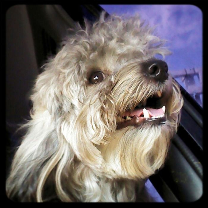 Mi Perro Doggy Pet Love Yorkypoo