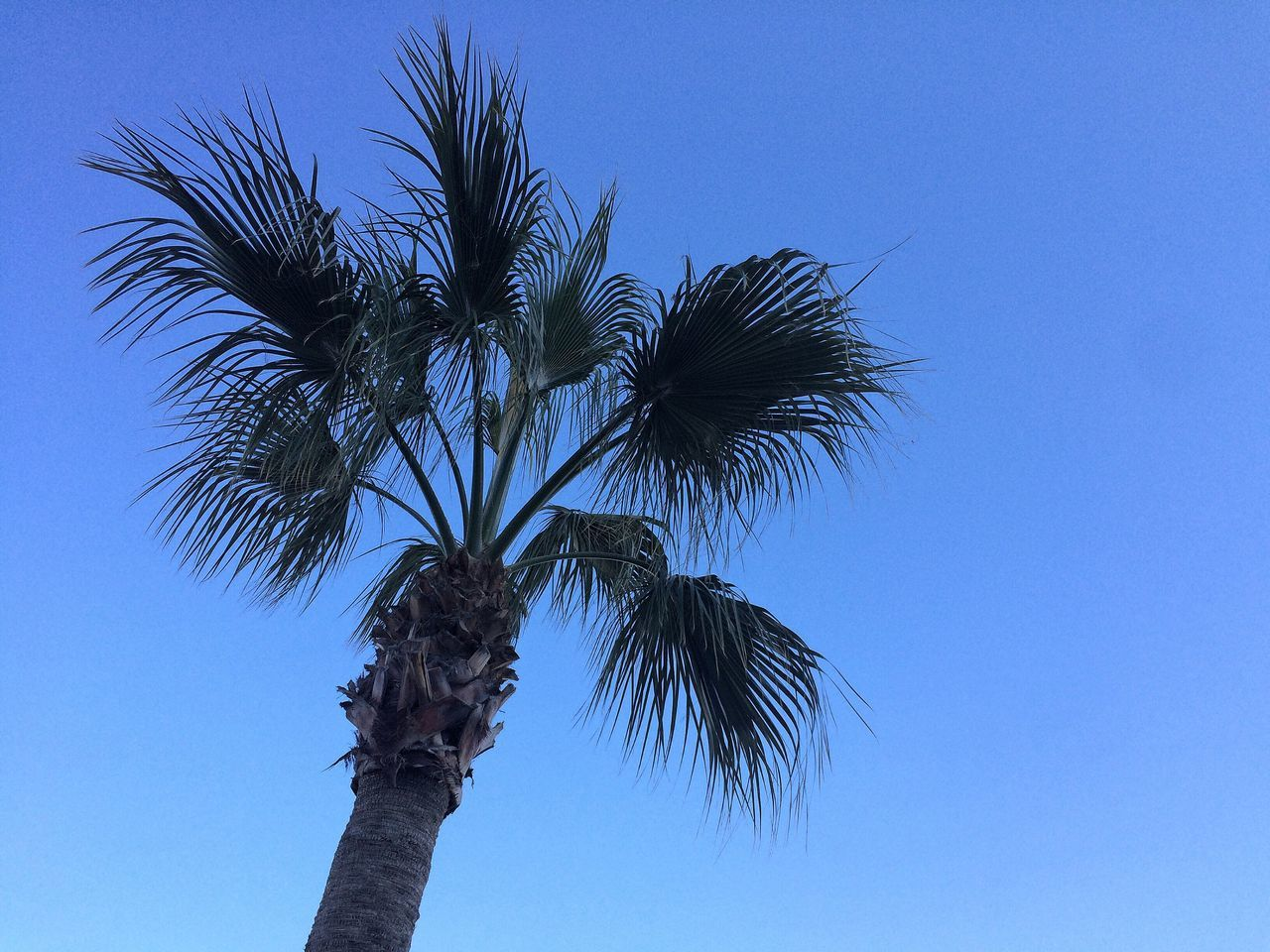 Palm Tree Low Angle View Tree Blue Clear Sky Nature Tree Trunk Growth No People Sky Outdoors Day Treetop Beauty In Nature Palm Frond