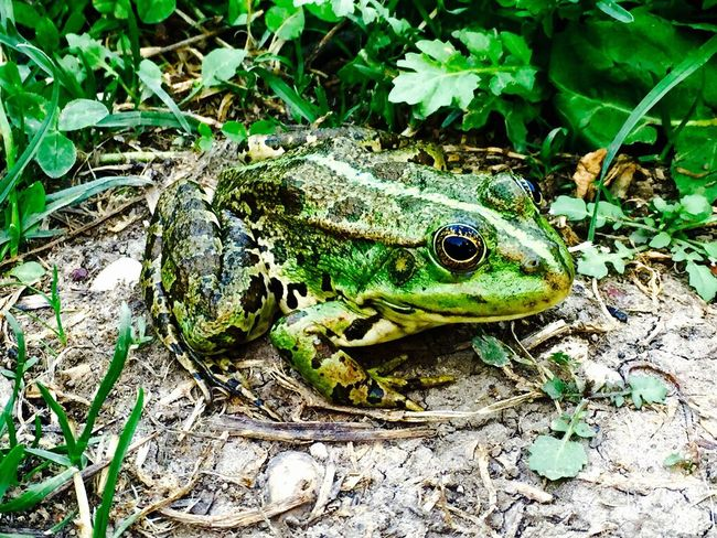 The beauty in green Check This Out Relaxing Taking Photos Enjoying Life Hello World Nature's Diversities Nature Frog Frogprince Frog Perspective Frog Eyes Green Green Green Green!  Green Nature Greenlife Bolu Golcuk Gölcük Doğal Tabiat Parki Golcuk Natural Park Bolu  Hanging Out