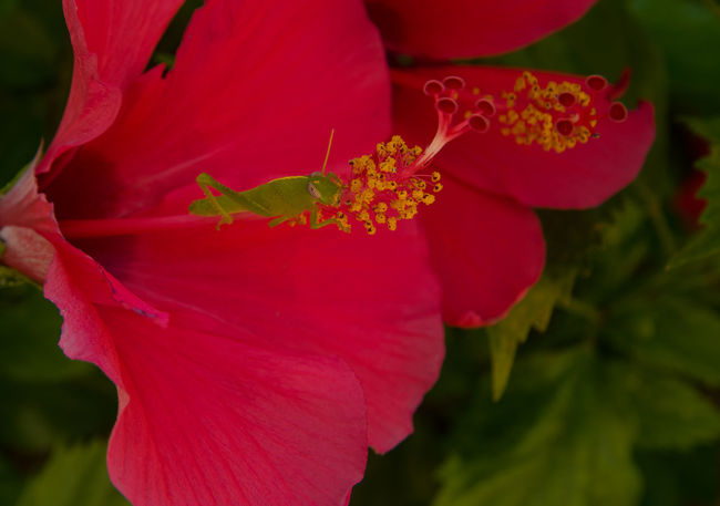 Hopper on Hibiscus Beauty In Nature Bird Grasshoppers Blooming Botany Close-up Hibiscus 🌺 Hopper Macro No People Outdoors Petal Pollen Red Schistocerca