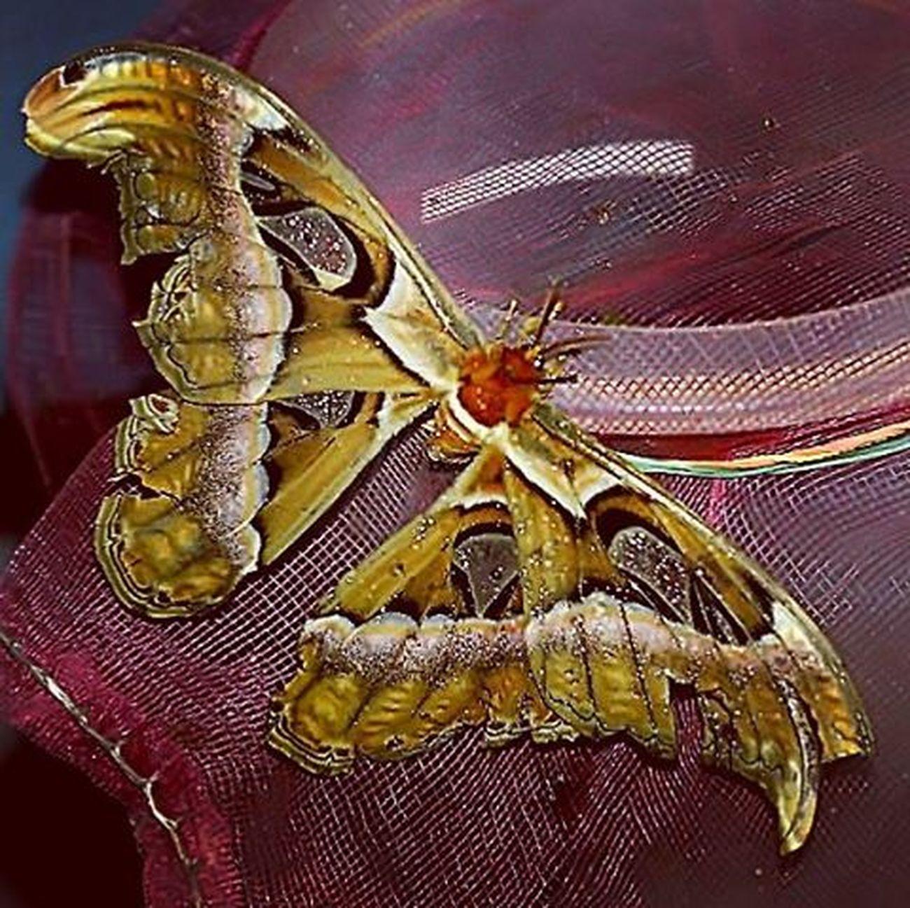 Giant butterfly. Kupu si rama-rama. Ramarama Ngengat Butterfly Ig_butterflies Ig_butterfly Macroworld_tr Uwn_macro Tgif_macro Cool Nice Giantbutterfly Kupukupu