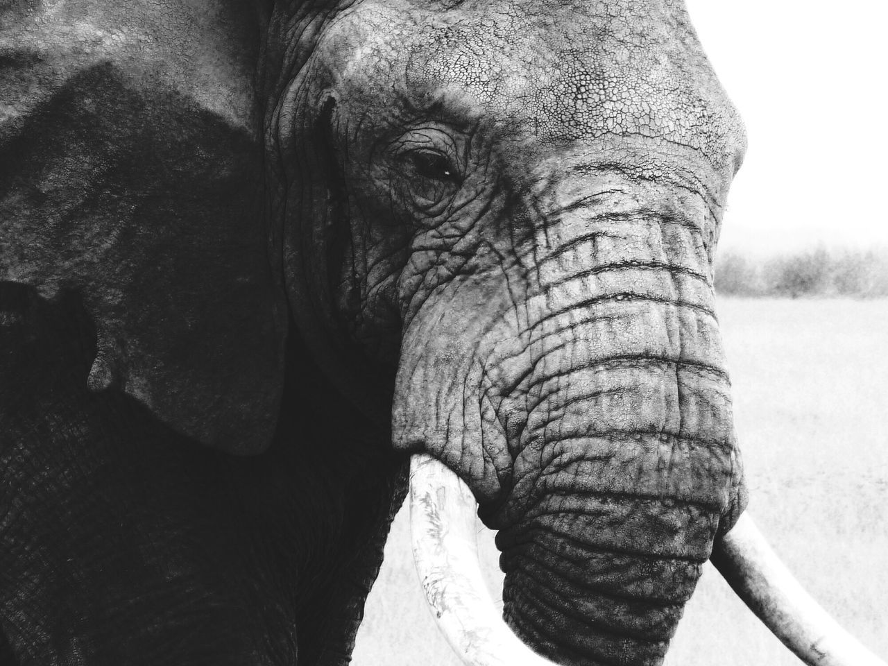 Blackandwhite Photography Africa Safari Elephants Kenya Animal_collection Animal Portrait EyeEm Best Shots - Black + White EyeEm Animal Lover EyeEm Best Shots